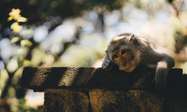 tired-monkey